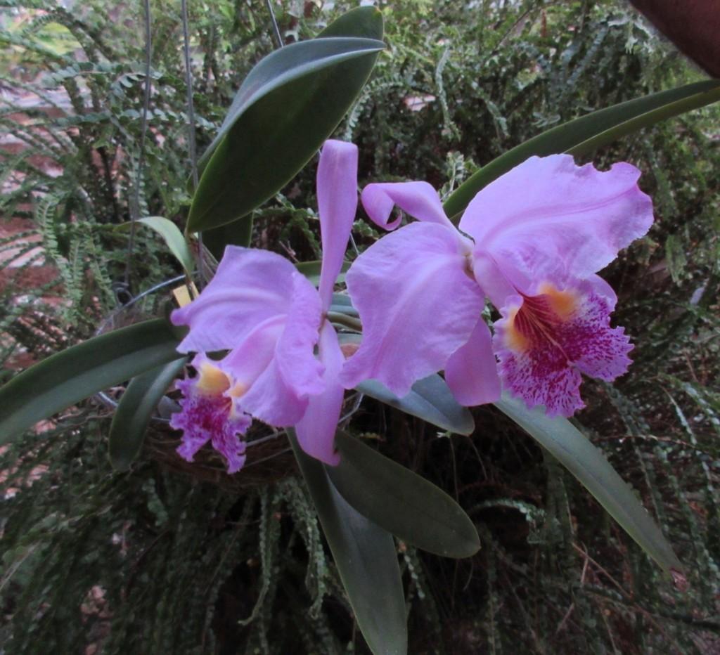 Cattleya leuddemaniana, très odorante. Alfombra, Costa Rica, 26 mars 2016