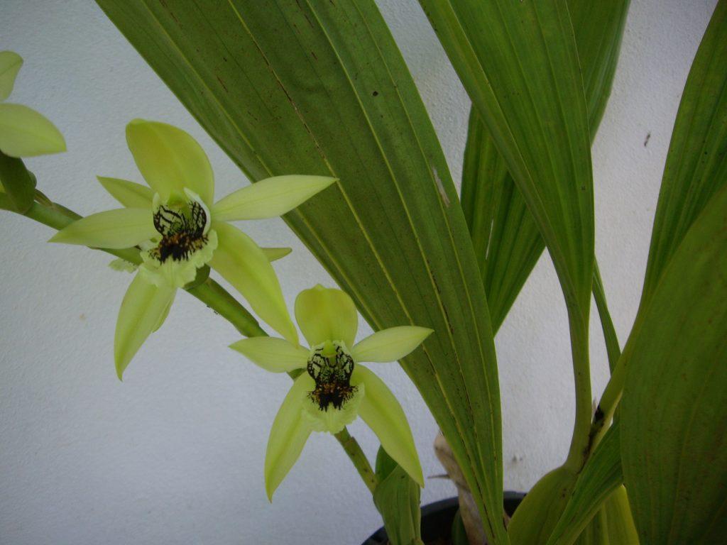 Orchidée au nom encore inconnu. Costa Rica, février 2016